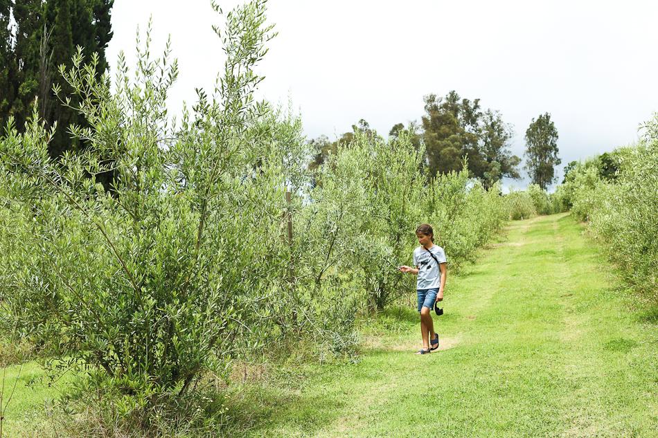 maui olive orchard